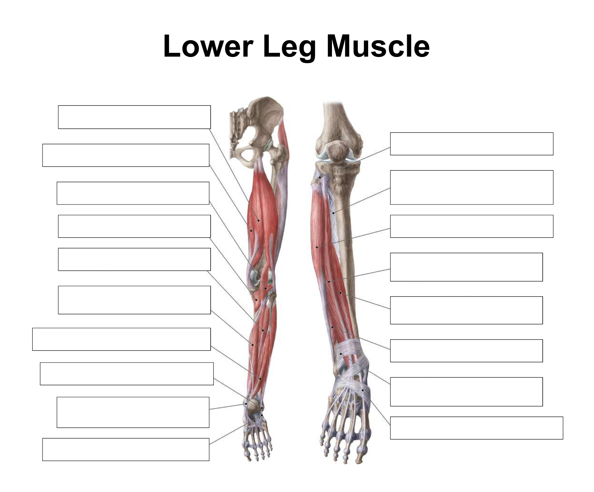 6 Best Images of Printable Worksheets Muscle Anatomy ...